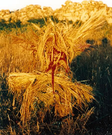 The sheaf of the Harvest Goddess