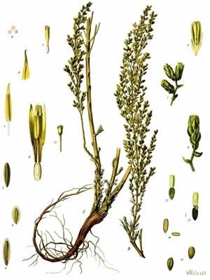 Levant Wormseed (Artemisia cina)-Koehler's Medicinal-Plants 1887 (copyright expired)