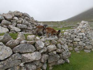 Soay lambs – photo: Jill Smith
